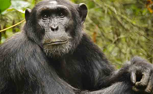 Contemplative chimpanzee in the forest