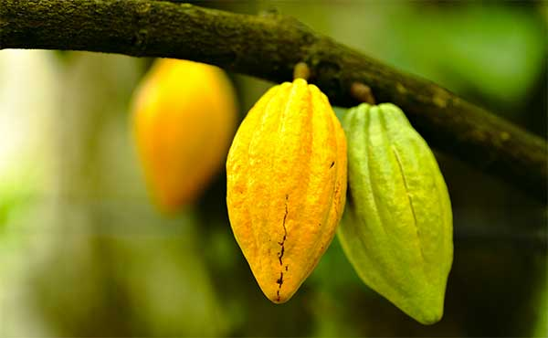 Close-up of cacao pods hanging from a branch